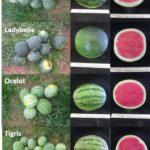 Figure 2. Personal size (mini) watermelon cultivars.