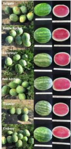 Figure 1. Standard size seedless watermelon cultivars.
