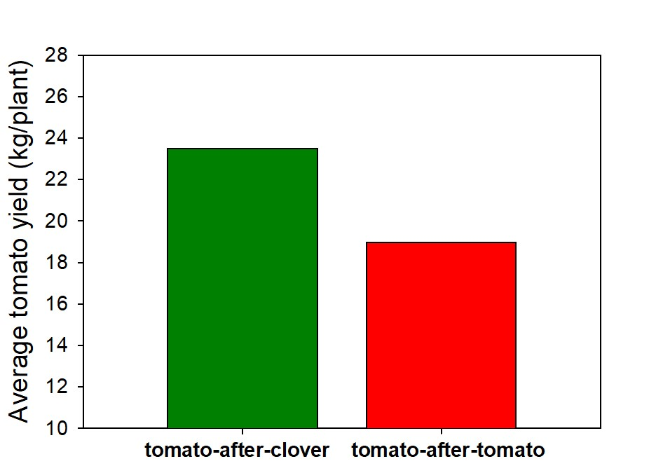 Figure 1. Tomato fruit yield after being planted in clover vs. tomato the previous growing season.