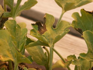 Figure 1: A leaf lesion of gummy stem blight on a watermelon transplant.