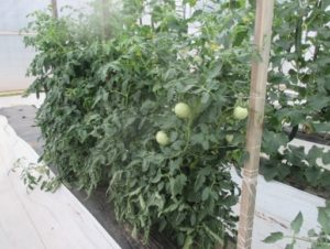 Figure 1. Tomato plants trellised with a Florida-weave system.