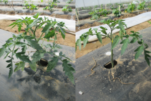 Figure 3. A tomato plant before (left) and after (right) pruning.