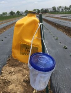 Figure 3. Gallon jug trap plus a container for live striped cucumber beetles. Two sides of the container were removed and replaced with high tunnel mesh to provide ventilation.