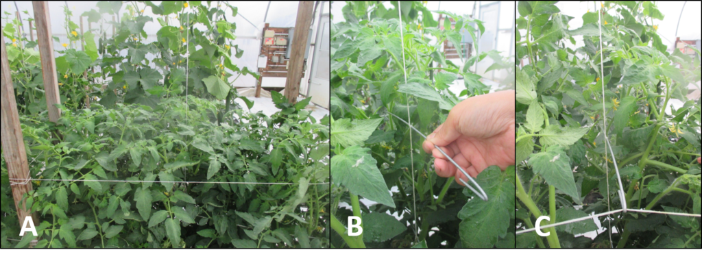 Figure 4. Connect four stakes in a rectangle shape (A), cross the hook (12'') with the central-string (B) and hook it to the side-strings between the two tomato plants (C).
