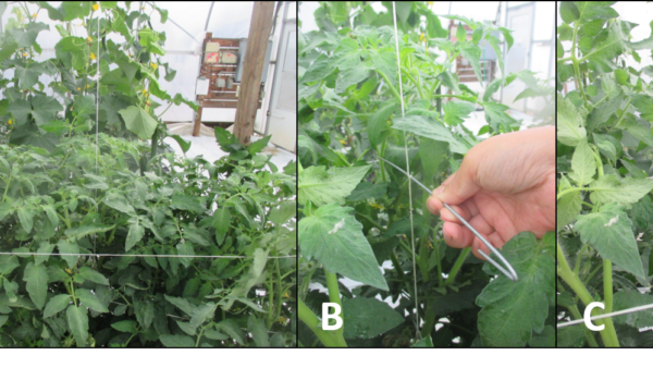 An Alternative Trellis System may Improve Tomato Yield