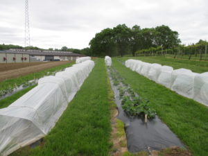 Figure 1. Spring planted day-neutral strawberries with and without a retractable low tunnel system.