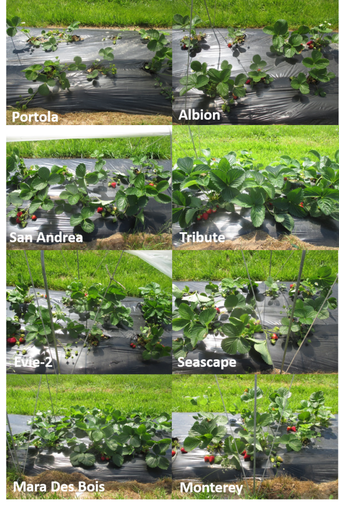 Figure 2: Eight day-neutral strawberry cultivars grown under retractable low tunnel systems (picture was taken on May 20)