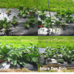 Figure 2: Eight day-neutral stawberry cultivars grown under retractable low tunnel systems (picture was taken on May 20)