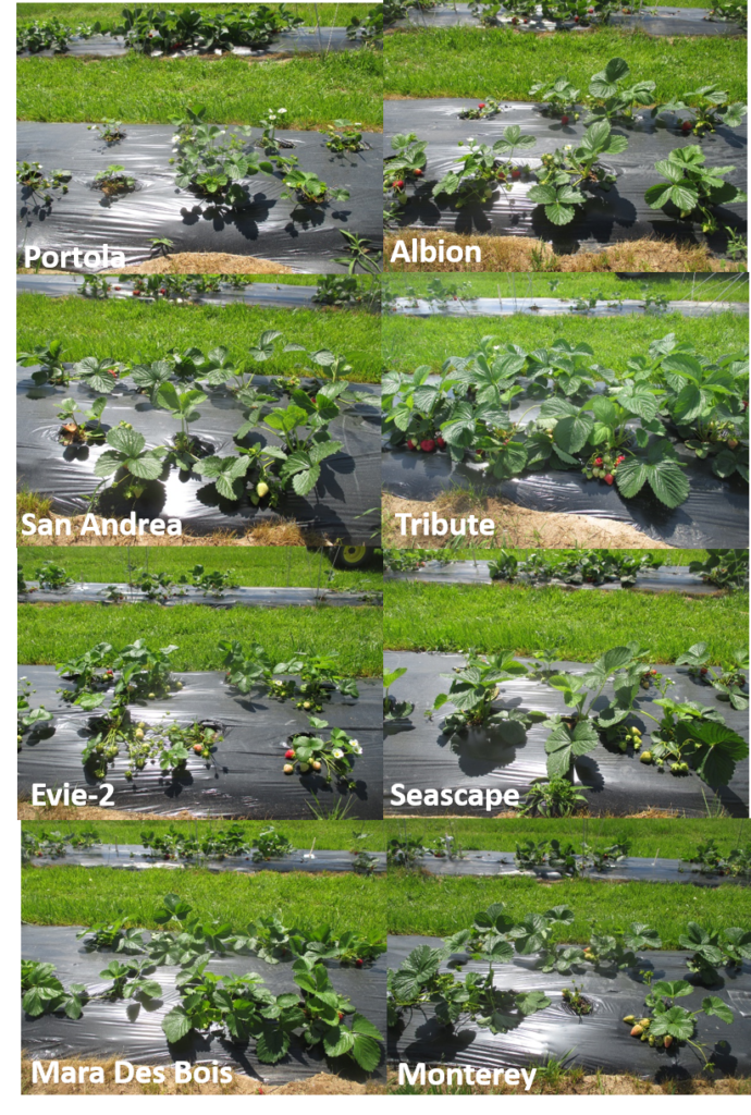 Figure 3: Eight day-neutral strawberry cultivars grown in the open-field (picture was taken on May 20)