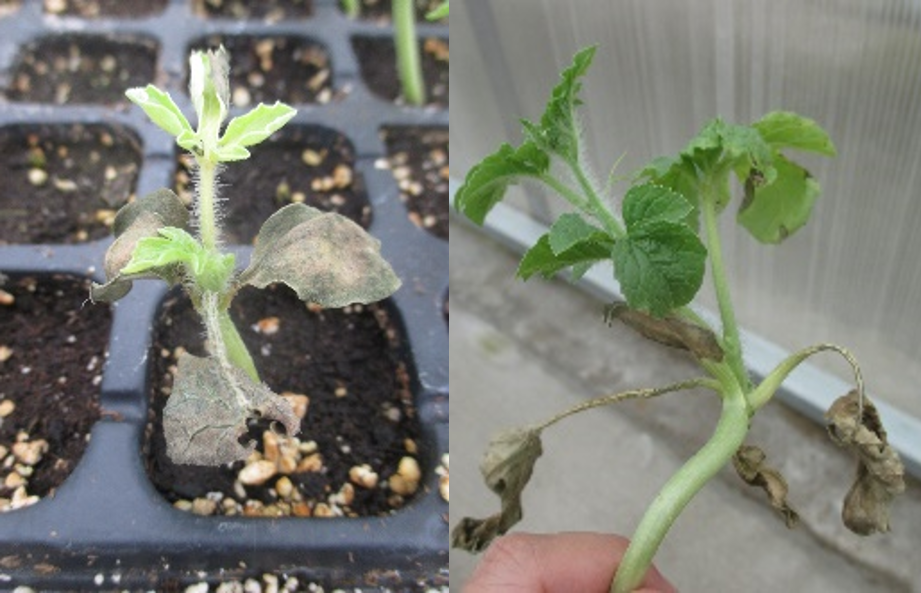 Figure 3. Necrosis on old leaves of watermelon seedlings.