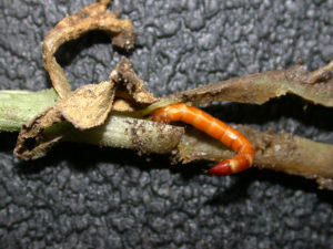Figure 2. Wireworm tunneling in a cucurbit stem. Photo credit John Obermeyer.