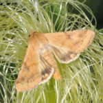 Fig. 1 Corn earworm adult on silk. Photo courtesy John Obermeyer.