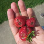 Anthracnose of strawberry causes sunken lesions.