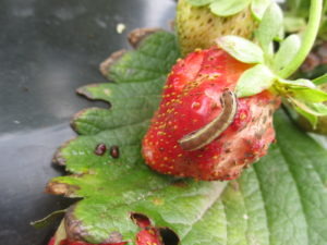 Figure 2. Yellow striped army worm feed on strawberry fruit.