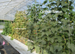 Figure 3. Cucumber cultivar Taurus were grown in the front, cultivar Corinto was grown in the back.