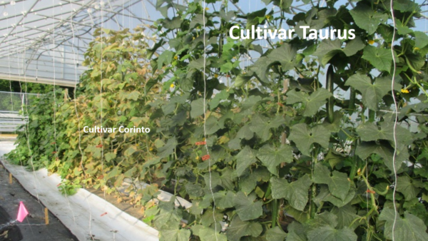 Watch for Two-spotted Spider Mites on High Tunnel Cucumbers