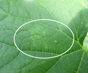 Figure 2. Initial two-spotted spider mite damage on cucumber leaves.