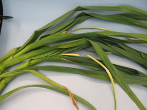 Figure 1. Anthracnose of garlic, a new disease to Indiana, may cause sunken, orange lesions on scapes.