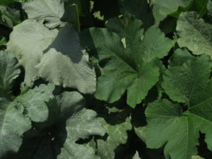 he pumpkin leaves on the left silvered from the feeding of the silver leaf whitefly.
