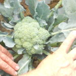 Figure 1. Broccoli grow leaves in the head. A response toward heat stress (Pictures was provided by ANR educator Luis A. Santiago)