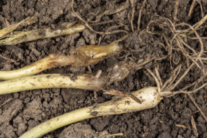Fig. 3 Variation in maggot damage among onion transplants. Photo by John Obermeyer.