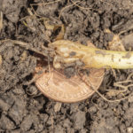 Fig. 2 Maggot in young onion transplant with a penny referenced for size. Photo by John Obermeyer.