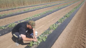 Figure 2: Scouting watermelon plants for striped cucumber beetles and other pests. This can be a cost-effective way to avoid unnecessary sprays that could harm beneficial insects.