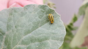 Figure 1: Striped cucumber beetle seen feeding on newly transplanted watermelon. The first-generation beetles can occur in high enough numbers to stunt plant growth or kill the seedling outright.