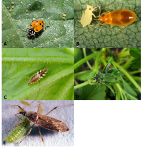 Figure 4. Ladybeetle, Orius nymph, lacewing larva, syrphid fly larva, and nabid bug predators of aphids found in strawberry plot. Photos by John Obermeyer and Laura Ingwell.
