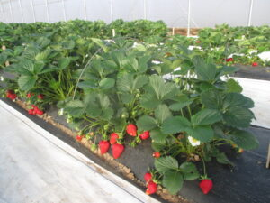 Figure 1. Strawberries are growing in a high tunnel.