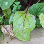 Figure 1. Cercospora leaf spot of beet.