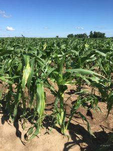 Hail injury on sweet corn