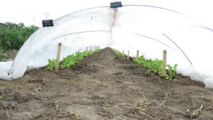 Leaf lettuce under row over.