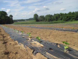 Figure 4. Winter squash was planted after strawberry on the same plastic.
