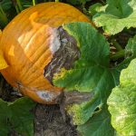 Figure 1: Phytophthora blight symptoms can be observed on the pumpkin fruit as a white mold and on the appressed leaf as a brown, necrotic area.