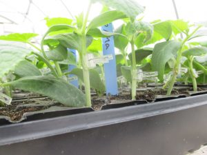 Grafted cucumber plants