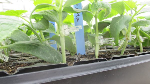 Are You Interested in Participating a Grafted Cucumber Study?