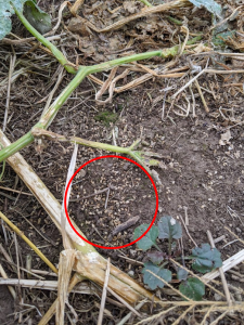 Figure 1. Barnyard grass seeds shatter and fall to the ground in a harvested Indiana pumpkin field