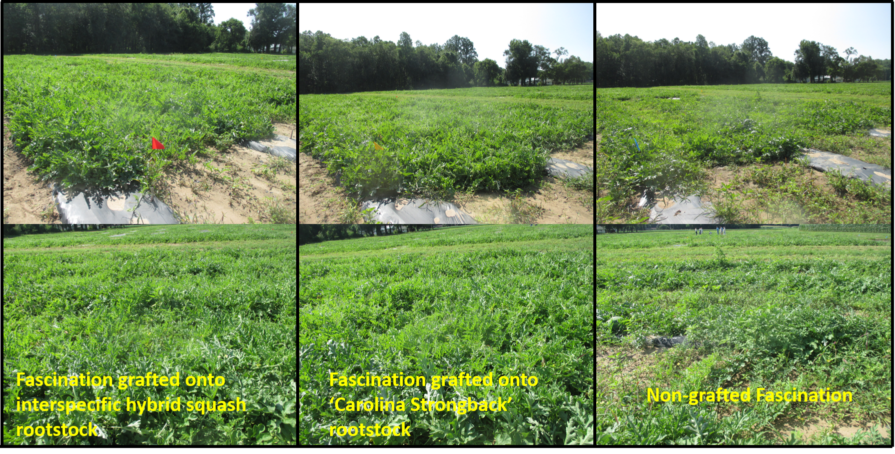Figure 1. Vine vigor of non-grafted 'Fascination', and 'Fascination' grafted onto interspecific hybrid squash rootstock and 'Carolina Strongback' rootstock.