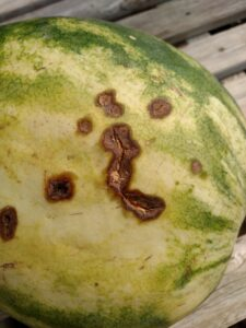 The anthracnose lesions on this watermelon fruit appear more as cracks than pit-like as in other photos. Note that there is still a hint of orange in some of the cracks due to the spore colors. Note also that the lesions tend to be toward the bottom of the fruit as is typical.