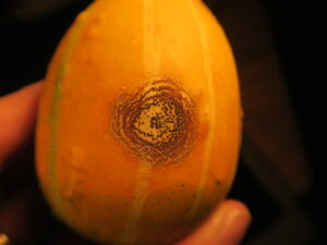 Anthracnose lesion on gourd fruit. Note ring of black fungal structures known as stromata.
