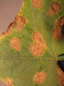 Anthracnose lesions on cucumber leaves. Note jagged margin of lesions.