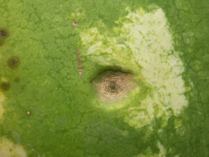A close-up of a lesion of anthracnose on a watermelon fruit.