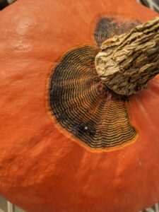 Anthracnose lesion on squash. Similarly to pumpkin, anthracnose lesions on winter squash leaves are not common.