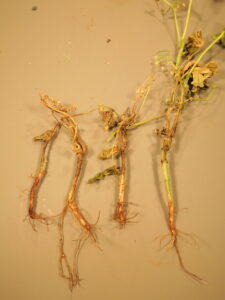 Root rot of snap bean can be characterized by necrotic lesions on the lower stem and roots.
