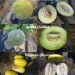Specialty melon types