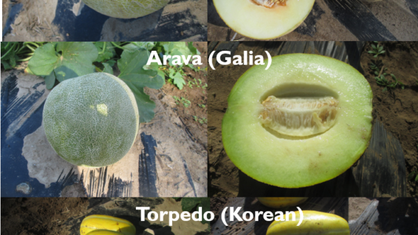 Specialty Melon Evaluation in Southern Indiana