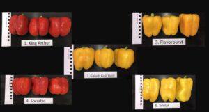 Figure 1. Fruit of sweet bell pepper varieties.