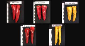 Figure 2. Fruit of sweet tapered pepper varieties.