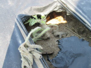 Figure 1. A newly planted watermelon plant after a cold period.